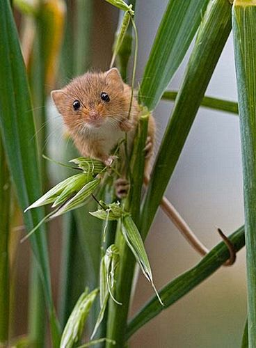 Mike Farley LRPS, Harvest Mouse